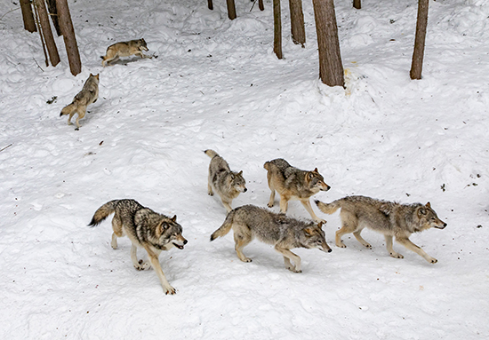 Photo of a pack of wolves in the snow.