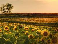 Image of sunflowers.